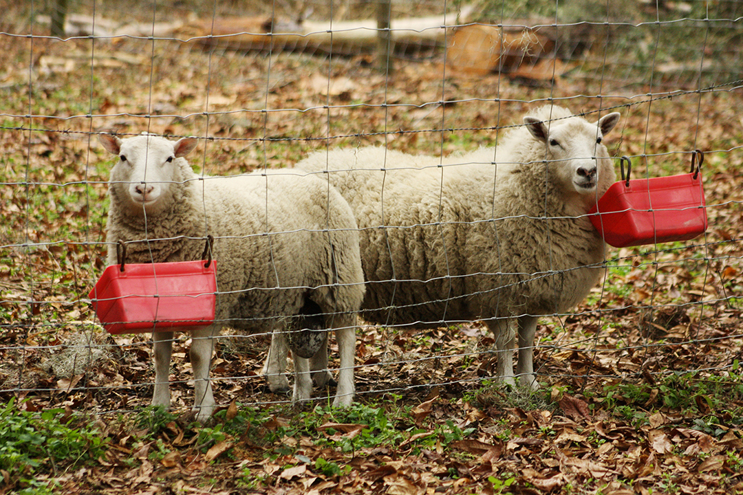Dwarf Sheep1
