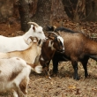Dwarf Nigerian Goats1
